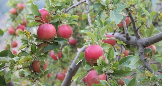 Amasya elması hasat için gün sayıyor