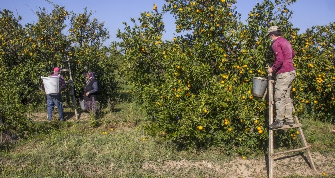 Maskeli, mesafeli mandalina hasadı başladı